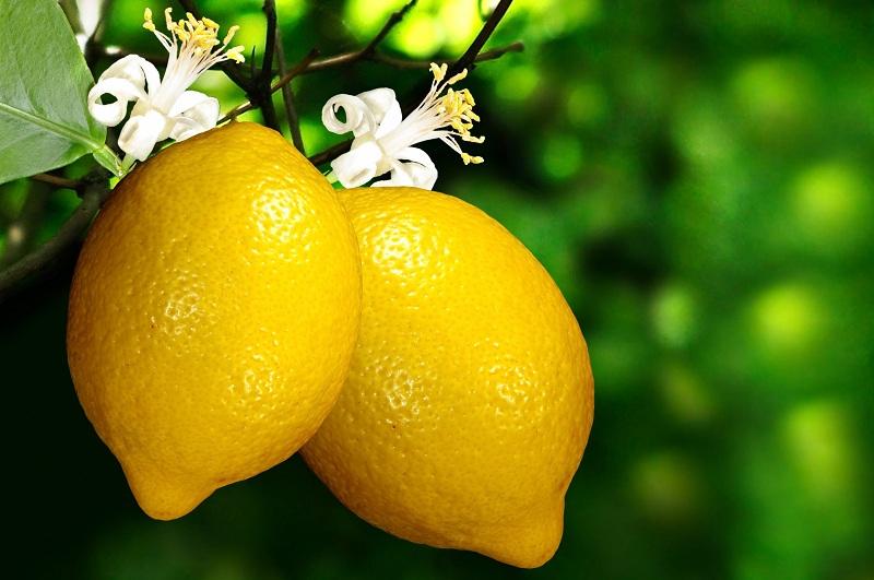 Jardin :Comment planter et entretenir un citronnier ?