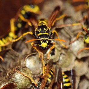 Destruction nid de guêpes, frelons asiatiques et insectes indésirables